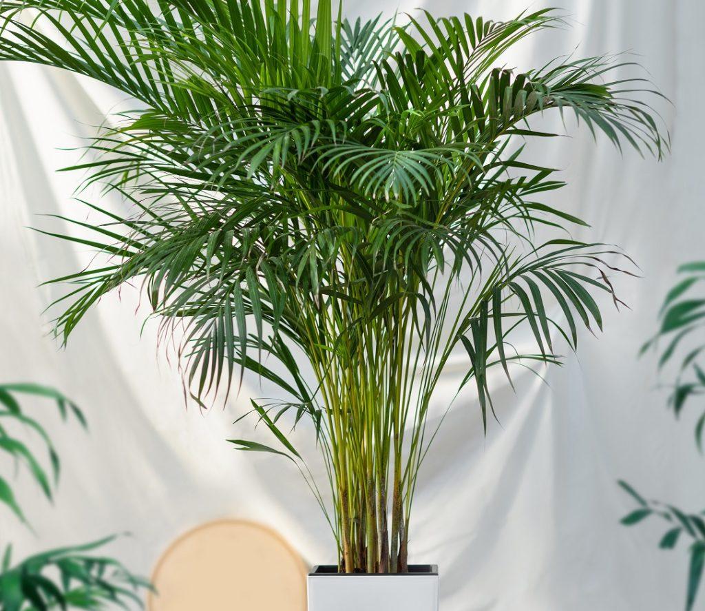 Palma areka - efektowna roślina doniczkowa