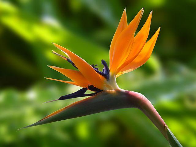 Sterlicja - rajski ptak