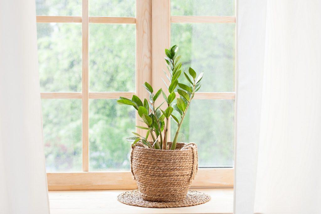Zamiokulkas - roślina doniczkowa