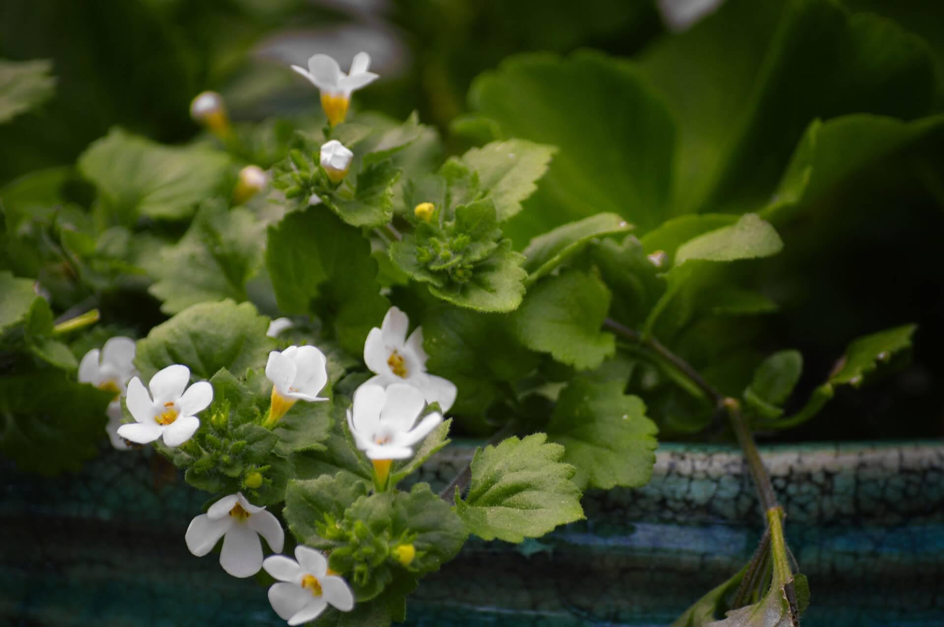 bakopa (sutera) - drobne kwiatki na balkon
