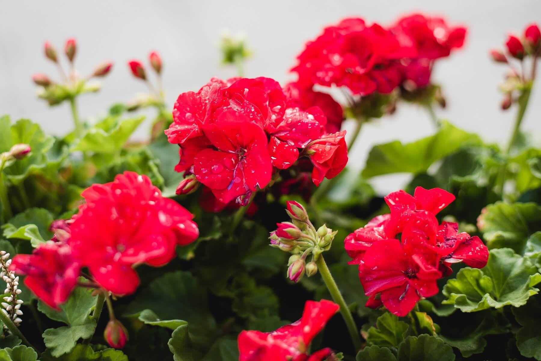 pelargonie - popularne kwiaty balkonowe