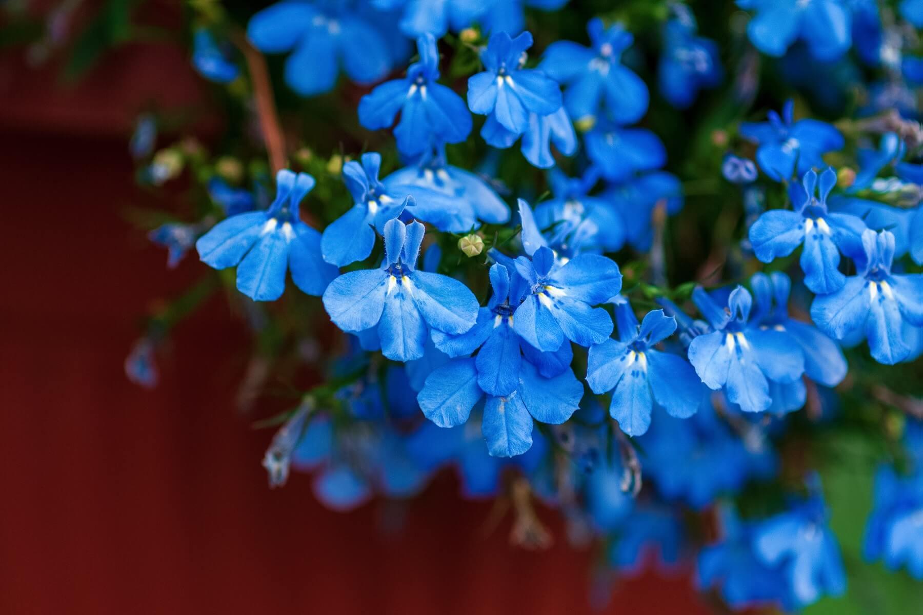 lobelia - zwisające kwiaty na balkon