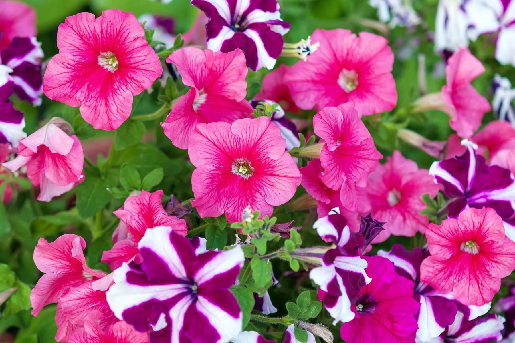 surfinie - kwiaty na balkon południowy