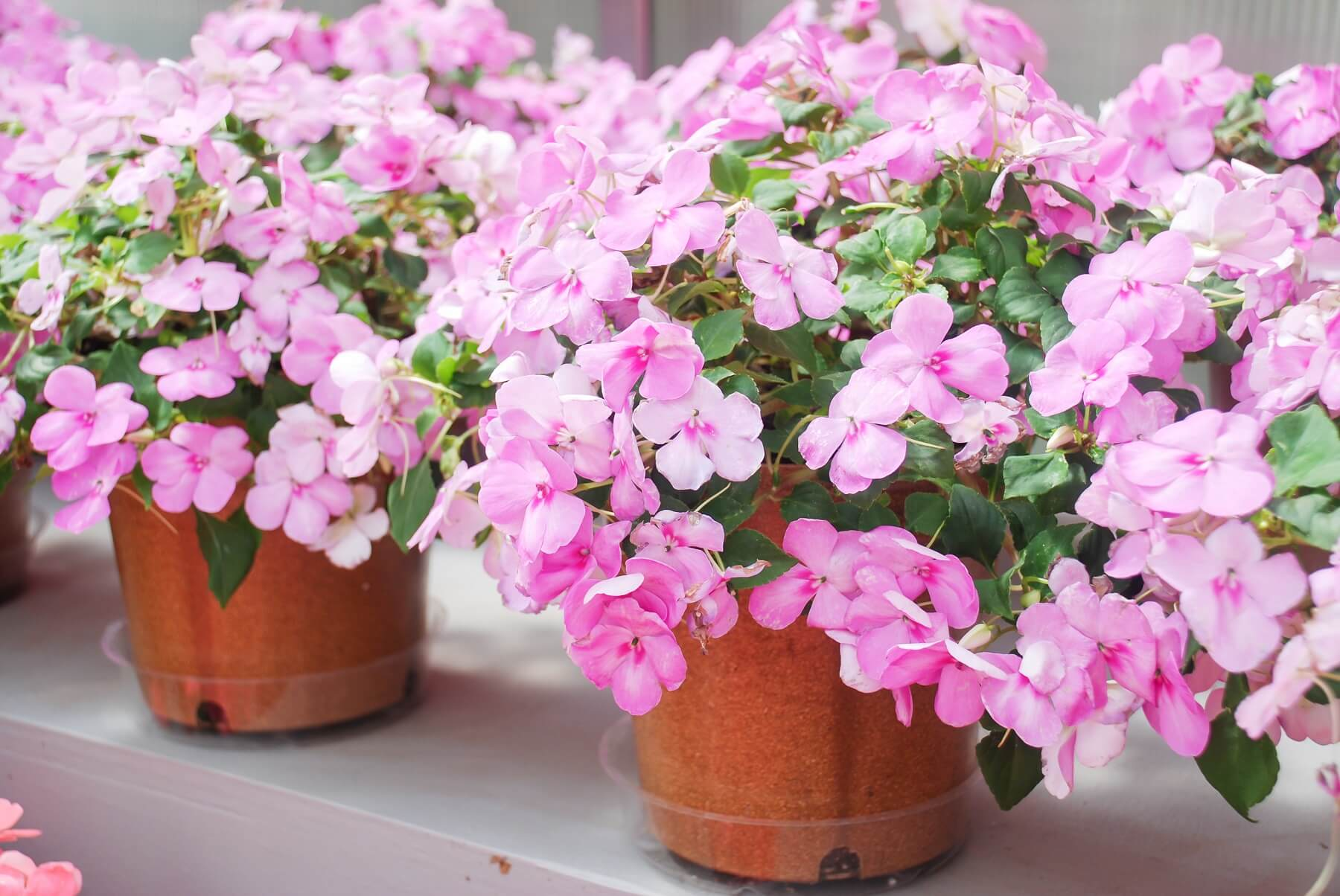 niecierpki - kwiaty balkonowe znoszące cień