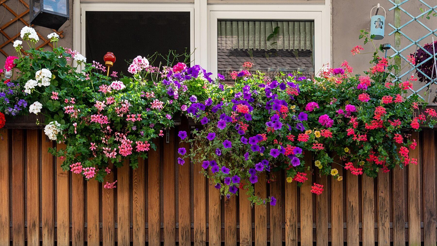 kwiaty na balkon - południowy, północny, wschodni, zachodni